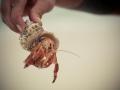 hernit-crab
